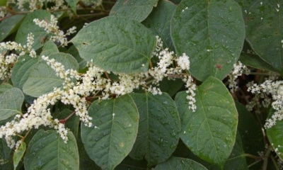 Property guide: The issue of Japanese Knotweed
